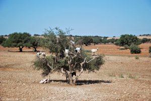 Un día en Essaouira: las cabras trepadoras