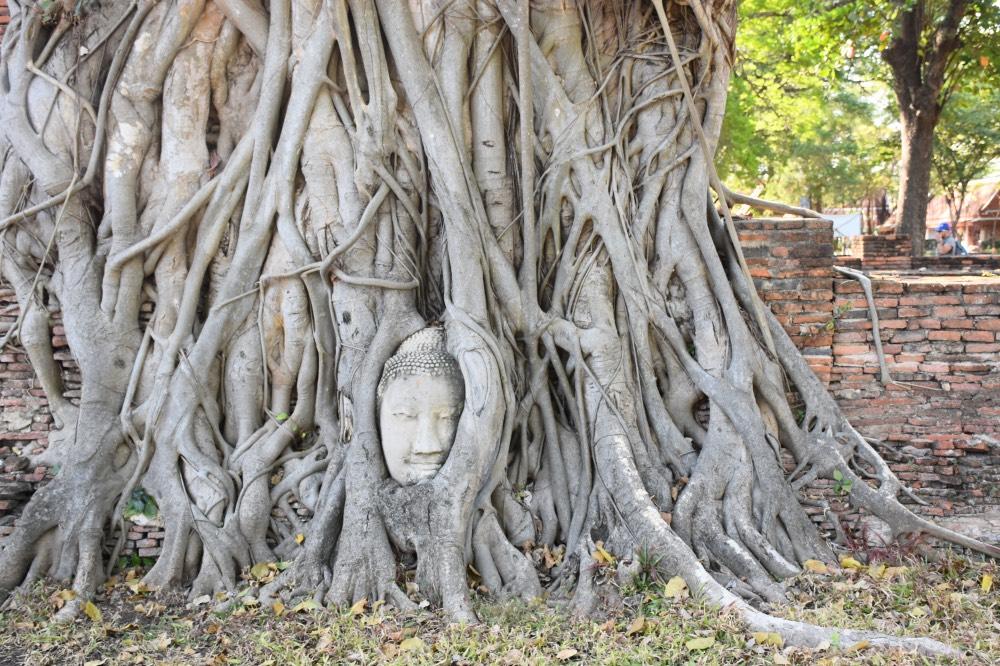 Cabeza de Buda entre las ramas de un árbol