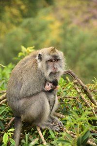 Un mono y su cría en el monte Batur