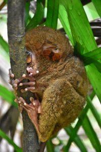 Bohol en 3 días: un tarsier