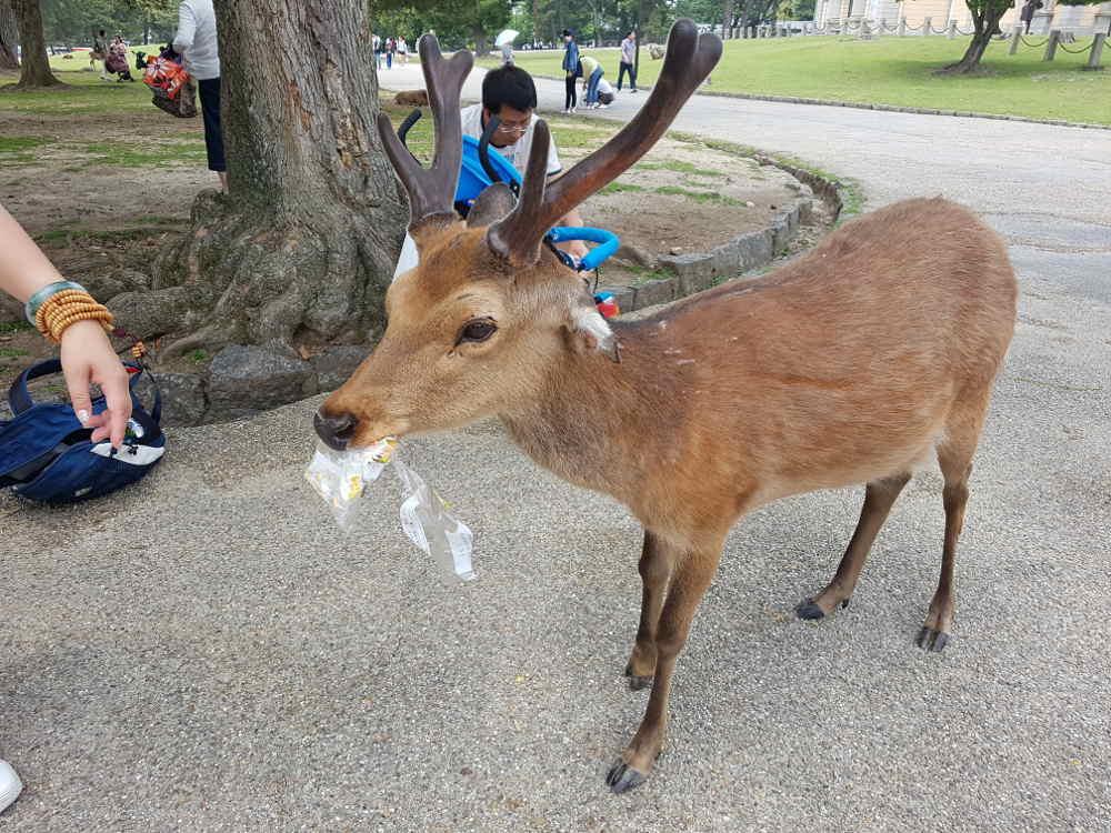 ciervo marrón comiendo plástico en el parque de Nara