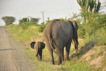 Dos elefantes en el Parque Nacional Queen Elisabeth en Uganda