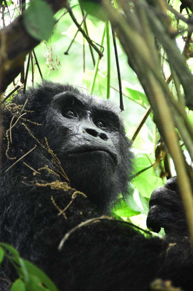 Un gorila durante el trekking en el Bosque Impenetrable de Bwindi