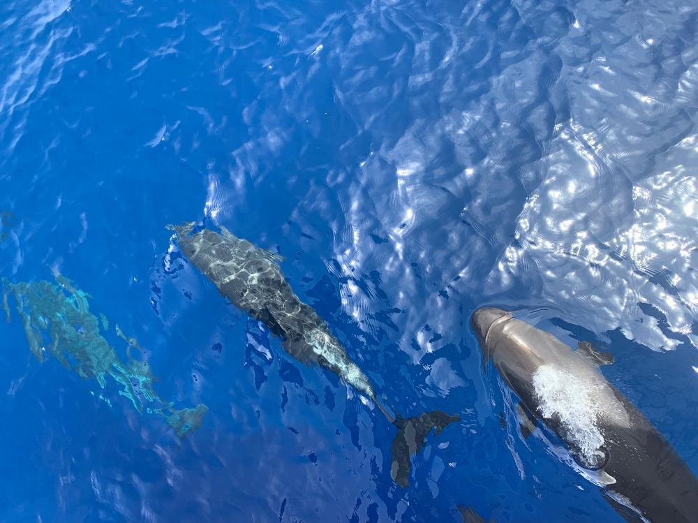 Delfines en el Mar Rojo