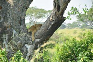 cría de león en un árbol en un viaje de 12 días a Uganda