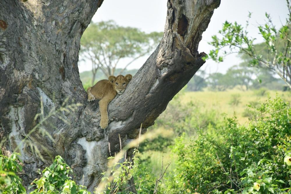 Visitar el Parque Nacional Queen Elizabeth: cría de león en un árbol en un viaje de 12 días a Uganda