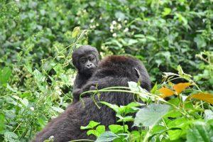 Cría de gorila sobre el lomo de su madre en el bosque