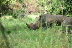 Un rinoceronte durante la visita al Ziwa Rhino Sanctuary, imprescindible en un itinerario de 12 días por Uganda