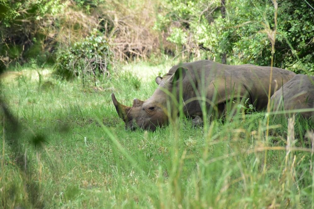 Un rinoceronte durante la visita al Ziwa Rhino Sanctuary, imprescindible en un itinerario de un viaje de 12 días a Uganda
