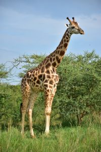 Una jirafa en el Parque Nacional Murchison Falls