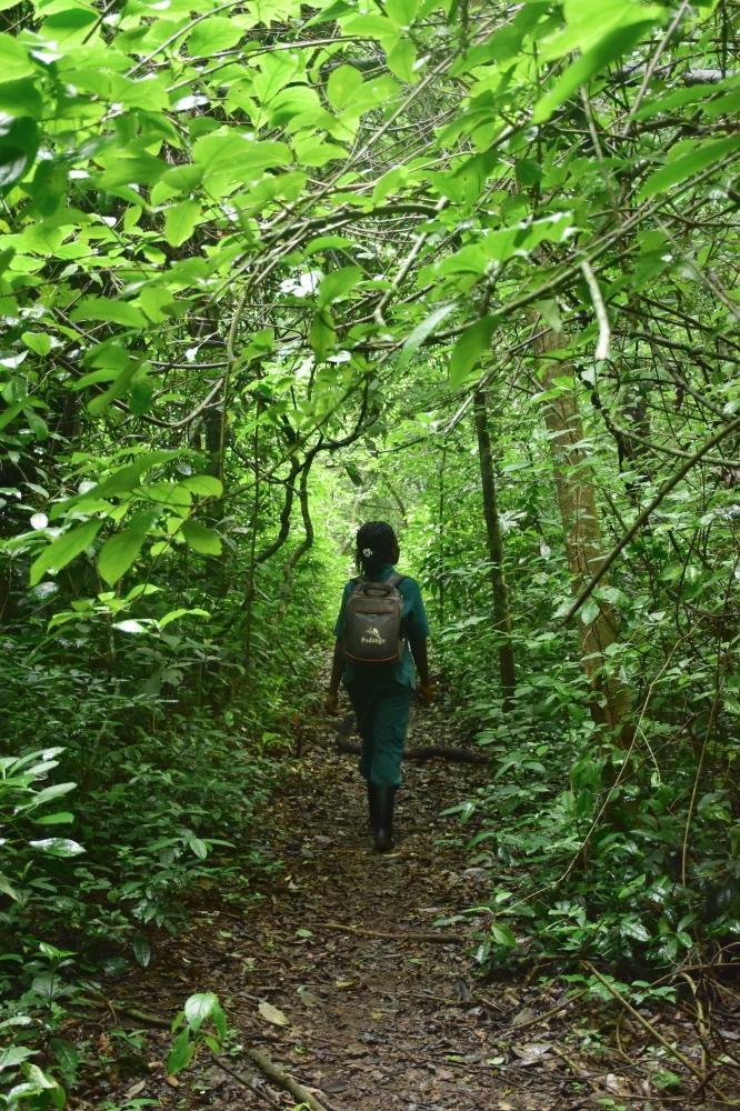 ver chimpancés en Uganda: Ranger caminando por el bosque de Budongo en un viaje de 12 días a Uganda