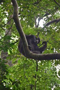 Un chimpancé en lo alto de un árbol en el Parque Nacional de Kibale