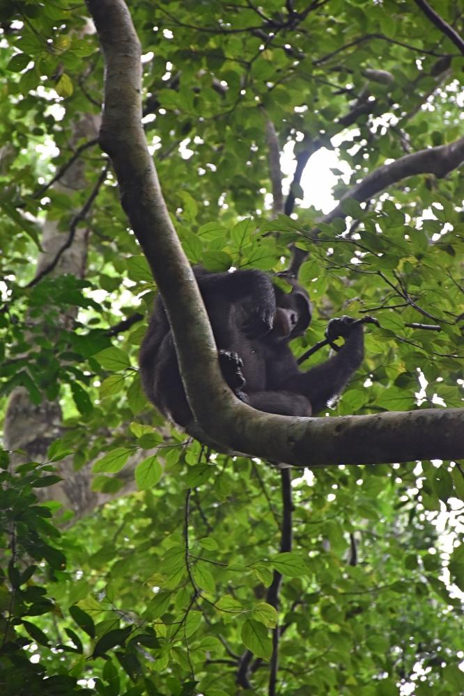 Ver chimpancés en Uganda: Un chimpancé en lo alto de un árbol en el Parque Nacional de Kibale