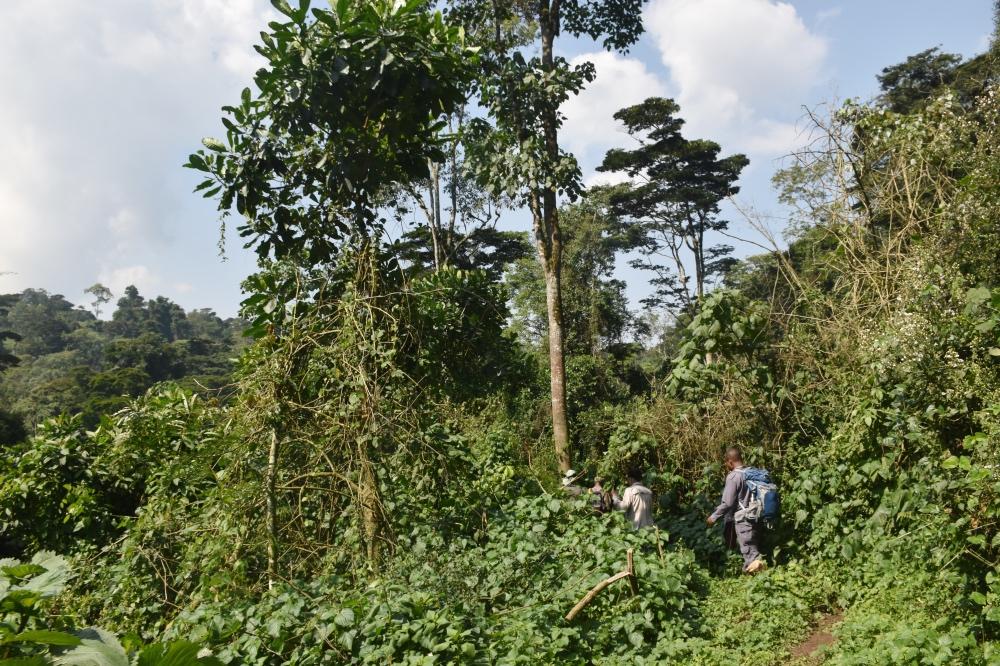 Adentrándonos en el Bosque Impenetrable de Bwindi
