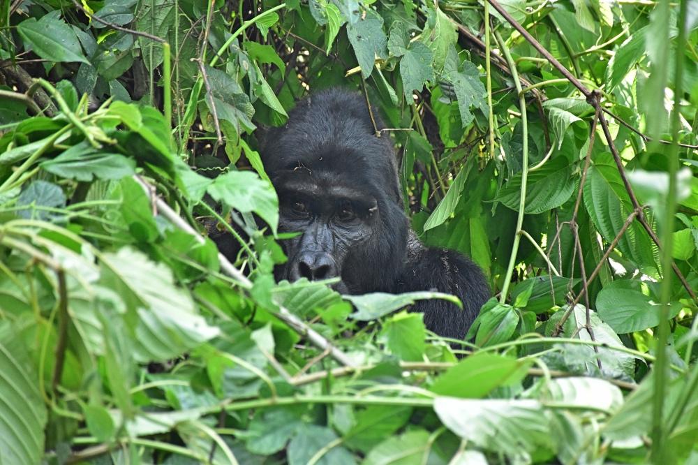 Trekking para ver gorilas en Uganda: un espalda plateada