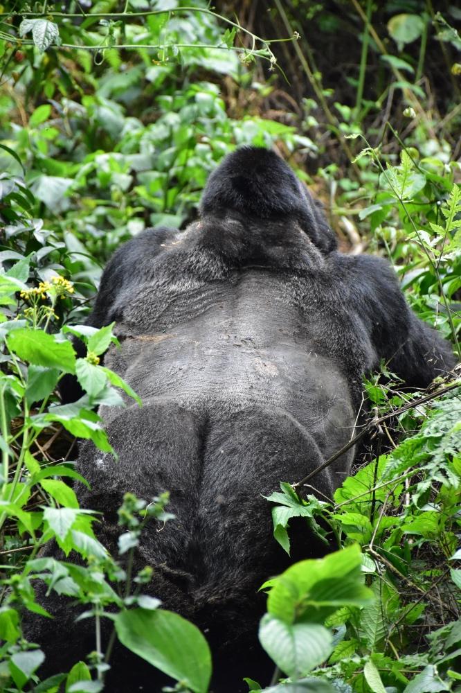 La espalda plateada de un espalda plateada