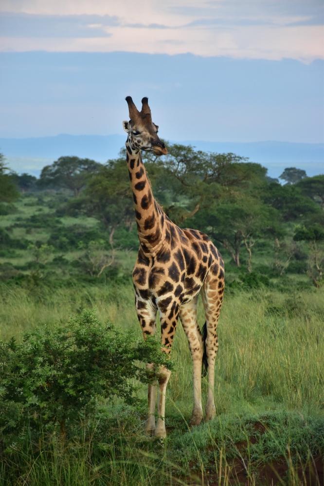 Una preciosa jirafa en Murchison Falls