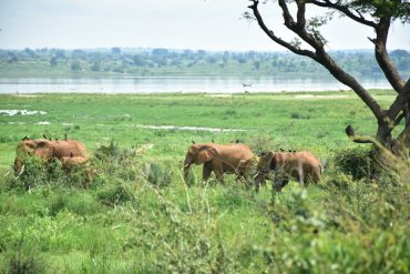 Elefantes en Murchison Falls
