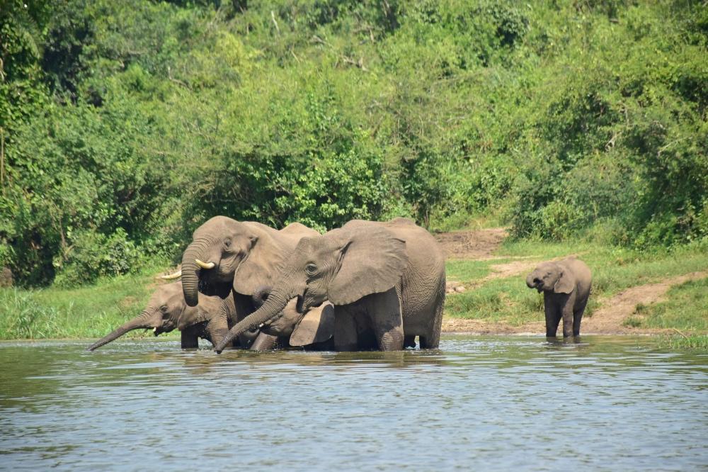 Una manada de elefantes bebiendo en el canal de Kazinga