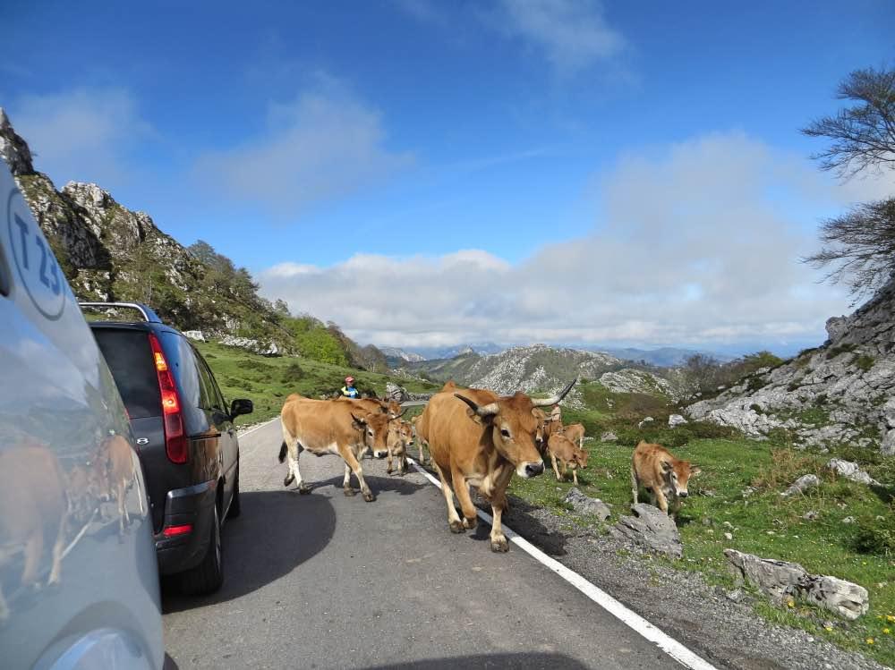 Coches paradas y vacas cruzando la carretera en un entorno de montañas y naturaleza. Hay nubes bajas.