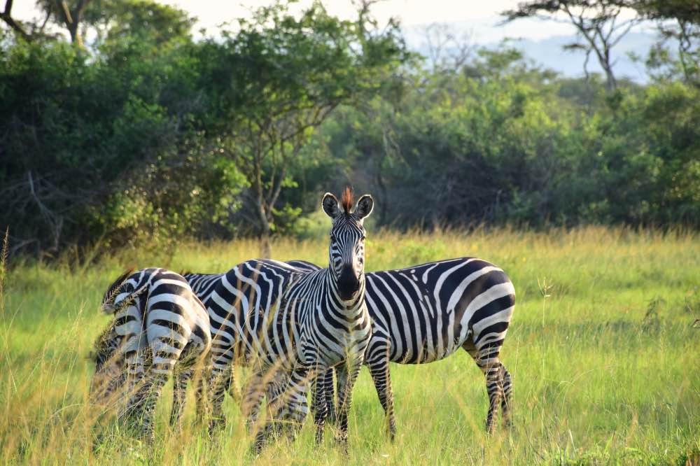 Visitar el Parque Nacional Lake Mburo: familia de cebras unidas. Varias comen césped, una mira en nuestra dirección.