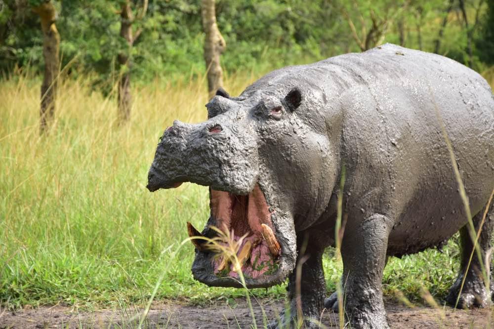 Visitar el Parque Nacional Lake Mburo: hipopótamo embarrado con la boca abierta