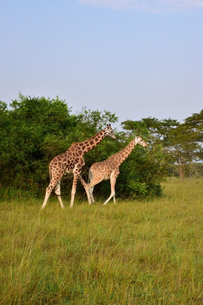 Visitar el Parque Nacional Lake Mburo: dos jirafas caminando