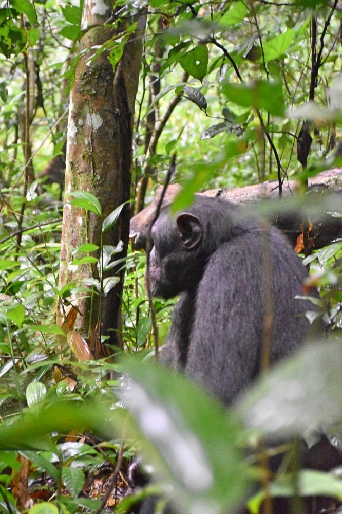 Un chimpancé entre las ramas de los árboles